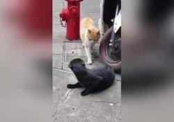 Coccole con un'altra? La reazione del gatto «infedele» è esilarante Il video documenta la «gelosia» felina - CorriereTV