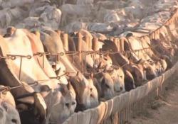 Dall'Amazzonia alla tavola: dove finisce la carne brasiliana delle zone a rischio deforestazione L'Italia, insieme al Regno Unito, è il massimo importatore di carne bovina della multinazionale brasiliana JBS, ripetutamente accusata di utilizzare bestiame allevato in aree deforestate dell...