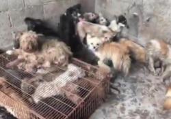 Il salvataggio dei cani di Yulin Davide Acito, fondatore di Action Project Animal, è tornato in Cina per cercare di salvare gli animali dal tradizionale massacro. Ecco come - CorriereTV