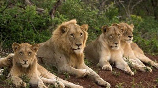 fuga leoni, Parco nazionale Kruger, sudafrica, Sicilia, Mondo