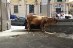 Mucca a spasso per Messina, bloccata in via Lombardia