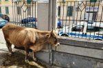 """Messina, giallo su una mucca in giro per il centro e poi """"parcheggiata"""" in via Lombardia - Foto"""