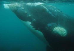 Registrato per la prima volta il canto della balena del Nord Pacifico È una delle più rare e ne sono rimaste meno di 100 in tutto il pianeta - CorriereTV