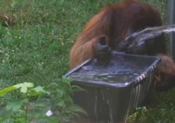 Vienna, gli oranghi dello zoo giocano con l'acqua per sopravvivere al caldo Le immagini girate in Austria, dove le massime sono previste a 40 gradi - CorriereTV