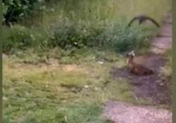 Volo in picchiata: i corvi attaccano la volpe Due corvi prendono di mira una volpe rossa - CorriereTV