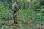 Scoperta coltivazione con 240 piante di marijuana ad Acquaro, due arresti