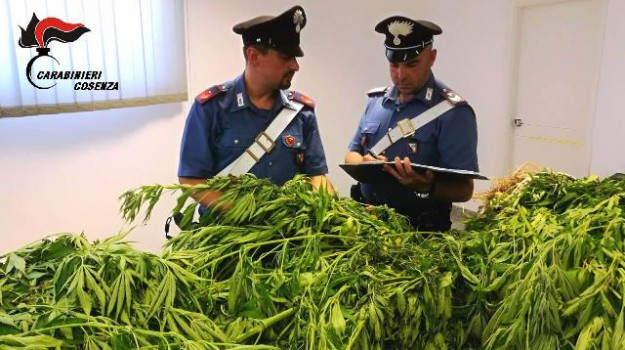 cosenza, piantagione marijuana, Cosenza, Calabria, Cronaca