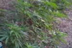 Scoperti a coltivare 187 piantine di cannabis: arrestati fratelli di Melito