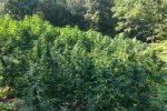 Sorpreso con 1000 piante di canapa indiana, un arresto a Campana