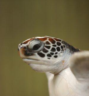 Nate in Calabria 35 Caretta caretta: sono le prime tartarughe della stagione