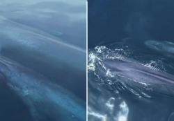 Balena blu con il suo piccolo avvistata al largo di San Diego: il raro video Le immagini girate con un drone a 12 miglia dalla costa: avvistare questi mammiferi a giugno in latitudini così calde - Corriere Tv