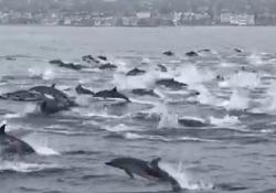 California, la cavalcata dei delfini è virale: il video spettacolare Le immagini di un gruppo di un centinaio di delfini che nel mare della California del Sud hanno inseguito una barca - Corriere Tv