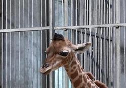 Fiocco azzurro in uno zoo di Parigi, nata una baby giraffa Il piccolo è venuto alla luce mercoledì 3 luglio e misura già 1,63 metri di altezza - Ansa