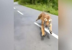Il motociclista inseguito da una grossa tigre Il video è stato registrato in un parco safari in India - CorriereTV