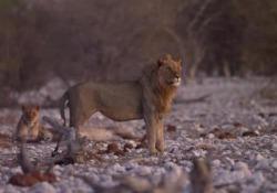 L'appello di Leonardo Di Caprio: «Raddoppiamo la popolazione di leoni» Il video del Lion Recovery Fund narrato dall'attore americano che con la sua fondazione è da tempo in prima linea delle battaglie per la tutela dell'ambiente e della biodiversità - Corriere Tv