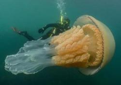 La medusa che è grande quanto un uomo Avvistata al largo della Cornovaglia da una biologa marina - Corriere Tv