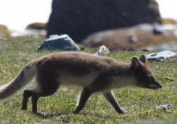 La volpe artica e l'incredibile viaggio di 3.500 km sui ghiacci Dalla Norvegia alla Groenlandia in 76 giorni - Corriere Tv