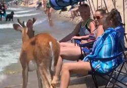 Lago Michigan: in mezzo ai bagnanti in spiaggia spunta un cerbiatto L'animale (per nulla impaurito) è arrivato a rinfrescarsi sulla riva del lago nello Saugatuck Dunes State Park - CorriereTV