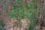 Sorpreso a irrigare una piantagione di marijuana, arrestato 43enne a Isola di Capo Rizzuto