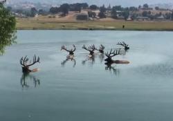 Troppo caldo: i cervi si concedono un bagno rinfrescante nel lago Temperature sopra la media questi giorni anche nella California del Sud - CorriereTV