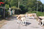 Pascolo abusivo e abbandono di animali, denunciato un 38enne a Reggio