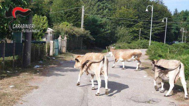 abbandono di animali, denuncia Reggio, pascolo abusivo, Reggio, Calabria, Cronaca