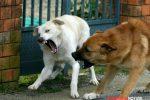 Acri, due cani randagi aggrediscono una donna in pieno centro