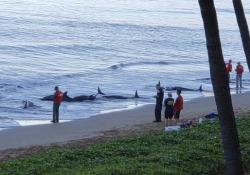 Balene morte in spiaggia alle Hawaii: lo sconcerto dei bagnanti Mattanza sull'isola di Maui - Ansa