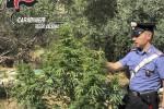 Coltivava una piantagione di canapa in un terreno agricolo: arrestato a Siderno