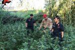 Scoperta una coltivazione con 1300 piante di cannabis a Candidoni: due arresti