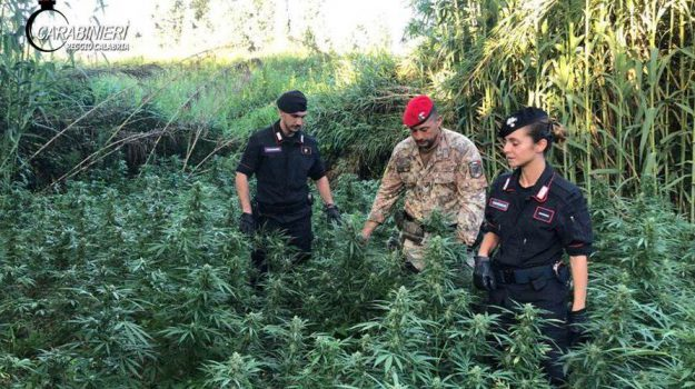 cannabis candidoni, Domenico Larosa, Francesco Messina, Reggio, Calabria, Cronaca