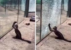Cina: la scimmietta (annoiata) tenta di evadere dallo zoo spaccando il vetro Il video è diventato virale: la scimmia cappuccina ha utilizzato un sasso per rompere il vetro della gabbia in cui era rinchiusa - CorriereTV