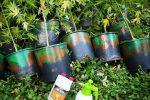 Scoperta piantagione di marijuana, arrestato un uomo di Lamezia Terme