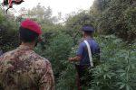 Piantagione di cannabis a Castagna di Cittanova, tre arresti
