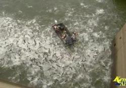 Elettroshock in acqua: migliaia di carpe schizzano in superficie Per monitorare e arginare l'invasione della specie asiatica - Corriere Tv