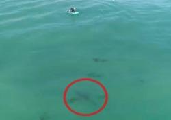 Il grande squalo bianco nuota sotto la tavola: i surfisti non se ne accorgono Il video girato da un drone al largo di Capistrano Beach, nella contea di Orange, in California - CorriereTV