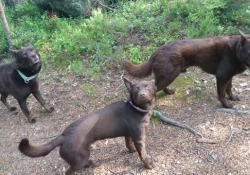 Il video più dolce che vedrete oggi: questi tre cani si sentono delle statue La fotografa e appassionata di cani, Evelyn Edblad, ha addestrato i suoi tre cani da pastore australiani - CorriereTV