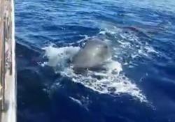 Liguria, avvistati tre capodogli al largo di Sanremo Erano già stati osservati insieme a giugno da biologi dell'Istituto di ricerca Tethy - Corriere Tv