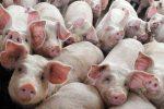 Strage di maiali in Asia, la peste suina ne uccide 5 milioni in un anno