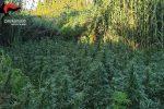 Scoperta una coltivazione di canapa a Rosarno: sequestrate 200 piante