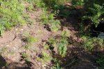 Ancora droga sull'Aspromonte: piantagione di canapa scoperta a Santo Stefano