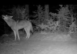 Ululato del lupo, il branco risponde al richiamo Il suggestivo richiamo notturno catturato dalle fototrappole del Parco Nazionale Foreste Casentinesi, sull'Appennino tosco-emiliano - Corriere Tv