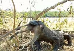 Drago di Komodo divora una scimmia Il video (impressionante) dall'Indonesia è diventato virale sul web - CorriereTV