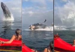 Una megattera, all'improvviso Un gruppo di canoisti ha avuto un incontro inaspettato con il grosso cetaceo - CorriereTV