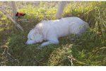 Lamezia, cane intrappolato e ferito da attrezzi per il bracconaggio: denunciato il responsabile