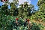 Quasi 800 piante di marijuana scoperte nelle campagne di Cetraro, due arresti