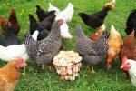 Epidemia di salmonella negli Usa, gli esperti: «Non baciate oche e galline»