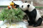 il panda Chuang Chuang
