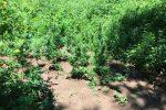 Una delle piantagioni sequestrate