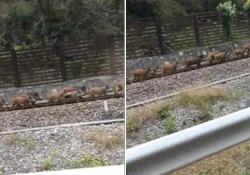 Branco di cinghiali corre (come un treno) sulle rotaie della Valsugana Per effettuare il trasferimento lungo la Valsugana, il nutrito gruppo ha pensato bene di utilizzare i binari ferroviari - Corriere Tv